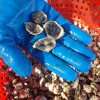 Oyster Culture Project Gets Underway