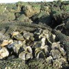 Restoring Oyster Reefs in the Big Bend Provides Many Benefits