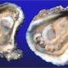 Workshops: Application of Triploidy to Oyster Culture