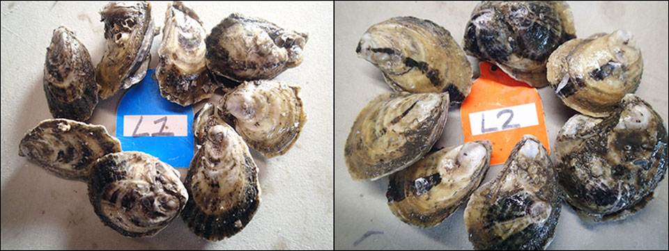 "Diploid oysters (left) and triploid oysters (right) after two months in growout culture. The ""L"" on tags refers to samples from replicate bags stocked at the low density treatment."