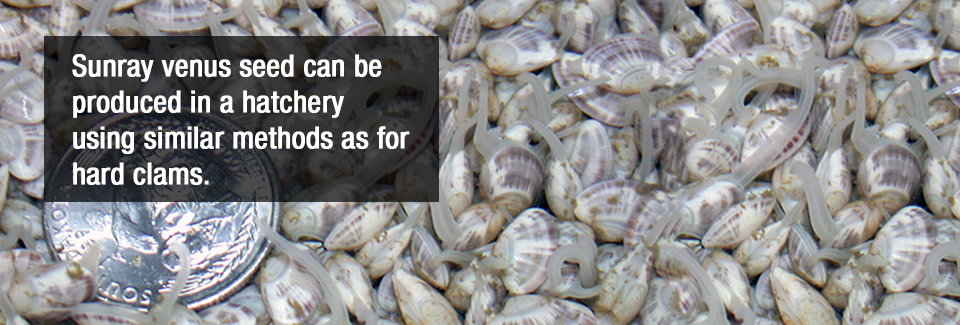 Sunray venus seed can be produced in a hatchery using similar methods as for hard clams.