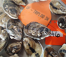 UF Oyster Growout Study Initiated